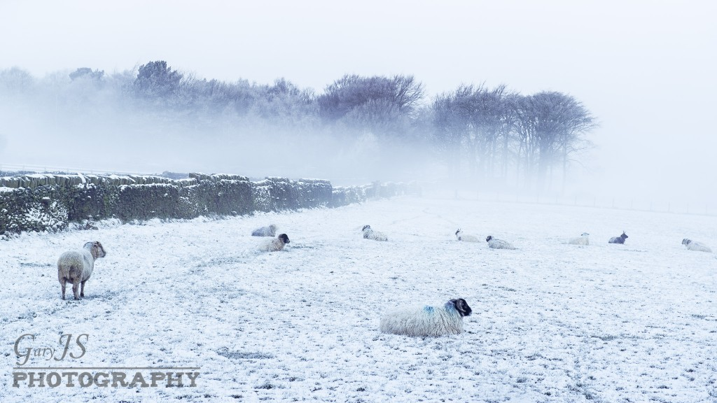 Sheep In The Snow (Wilshaw)